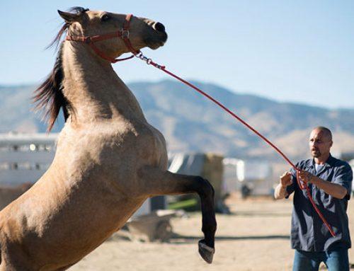 """""""The Mustang"""" : Le cheval au service des prisonniers ? Des managers ?"""